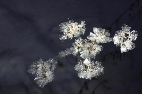 Ladovy kvet